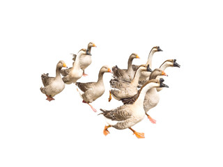 Flock of running geese