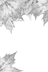 Grey Dry Maple Leaves Border Isolated On White Background