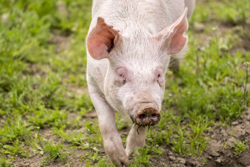 Pig in pen at farm