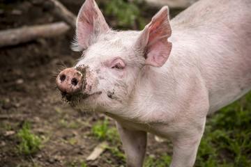 Pig in pen at farm