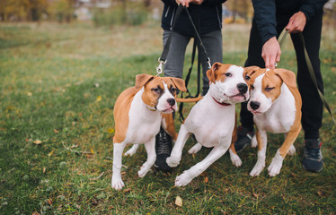 Three puppies of American Staffordshire terrier of white-brown color from one litter actively fun on a walk.