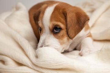 Jack Russell Terrier puppy lies on wood floor