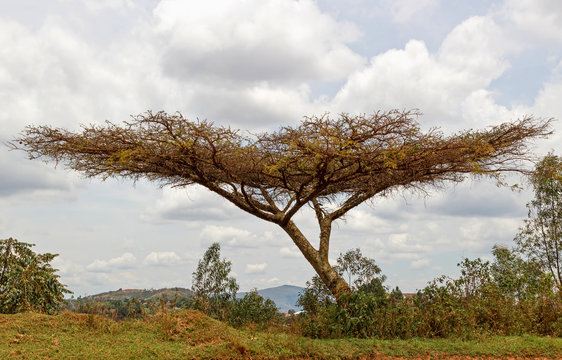 A tree with horizontal foliage at the edge of the slope. Burundi. East Africa