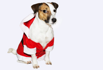 Jack Russell in a suit of Santa Claus