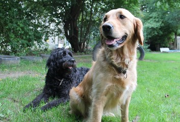 Golden Retriver and Labradoodle