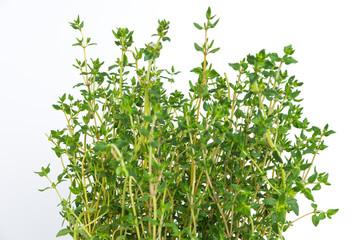 Fresh thyme herb grow.