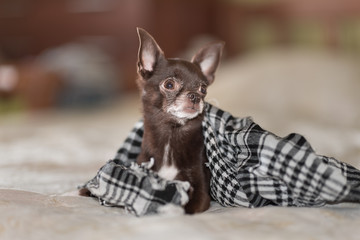 little brown Chihuahua puppy under the checkered handkerchief on the sofa.