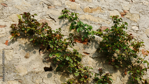 Muro Medievale Con Edera Rampicante Stock Photo And Royalty Free