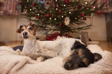 two cute dogs at Christmas in front of Christmas tree in animal bed - jack russell terrier