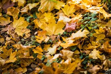 Yellow autumn maple leaves on green grass. Autumn season.
