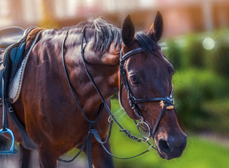 Horse looking straight forward closeup on show jumping competition, green blur background. Bay dressage horse under the saddle. Sunny day, concept for banner, website, poster.