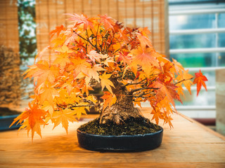 red scarlet bonsai maple tree acer palmatum bonsai tree of trident maple in autumn
