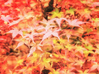 Autumn foliage background. Bright colored maple leaves on the branches. Scarlet red foliage close up selective focus