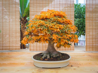 red scarlet bonsai maple tree acer palmatum bonsai tree of trident maple in autumn shishigashira mapple bonsai.