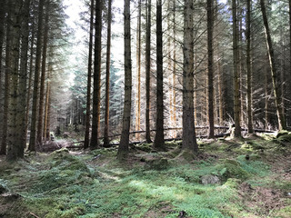 Grouping of pine tree forest near Inverness Scotland, United Kingdom Europe
