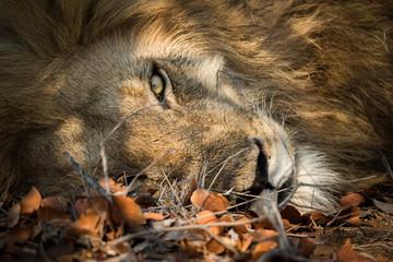 lion_8
