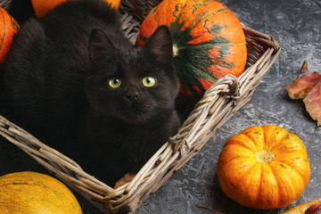 Green eyes black cat and orange pumpkins in wooden rustic rural basket on gray cement background with autumn yellow dry fallen leaves. Top view image.
