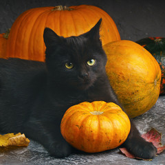 Green eyes black cat and orange pumpkins on gray cement background with autumn yellow dry fallen leaves.