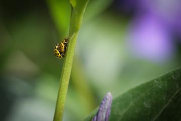 Yellow ladybugs mating on green plant