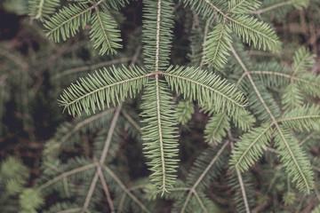 Obraz Closeup of Balsam Fir Branches - fototapety do salonu