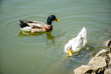 closeup photo of swimming ducks in the pond