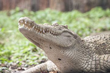 White Crocodile / Albino Siamese Crocodile : Freshwater crocodile , skin is white , nearly extinct , found in Southeast Asia