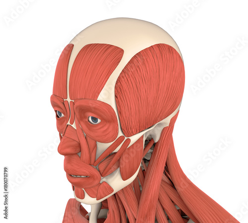 Human Facial Muscles Anatomy Stock Photo And Royalty Free Images On