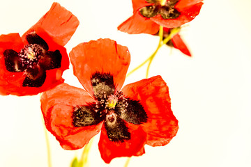 Pretty red poppies against egg shell white background
