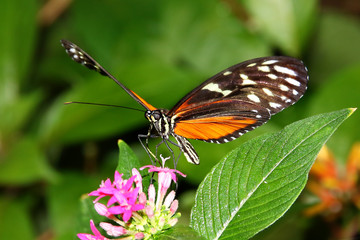 Tiger Longwing Butterfly Heliconius Ismenius feeding on flower