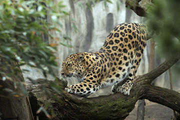 beautiful leopard held in captivity