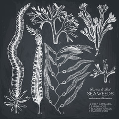 Vector collection of hand drawn brown and red seaweeds illustrations. Vintage set of sea algae on chalkboard. Underwater sketch.