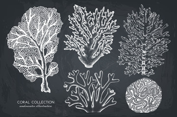 Vector collection of hand drawn reef corals sketch.Vintage set underwater natural elements. Vintage sealife illustration on chalkboard