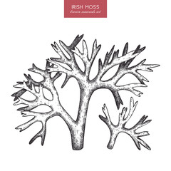 Vector sketch of hand drawn red seaweeds - carrageen. Underwater natural elements. Vintage sealife illustration of irish moss on white background.