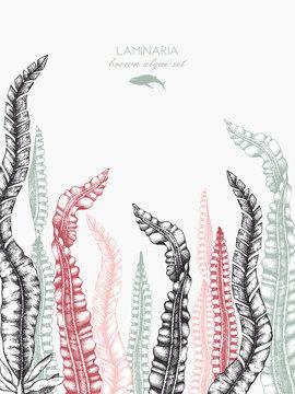 Ink hand drawn laminaria sketch, sweet sea tangle, japan kelp, alaria, set on white background. Vector illustration of highly detailed brown algae. Seaweeds design.