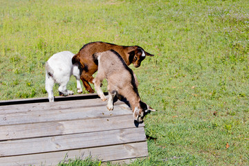 Three young goat kids playing on wooden platform in grassy paddock