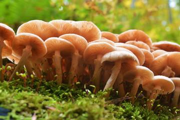 armillaria mellea mushroom