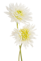 dahlia flower isolated