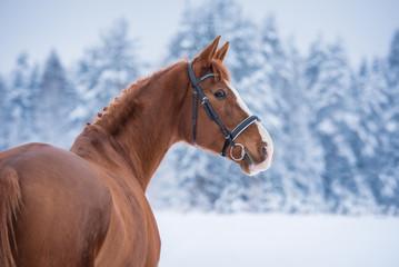 Fototapete - Beautiful red horse in winter
