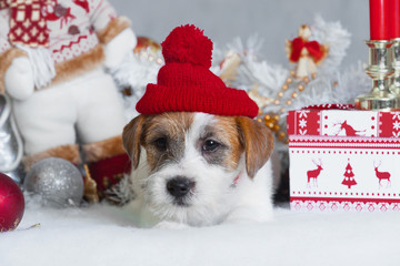 little puppy jack russel terrier in red cap lies among New Year's toys