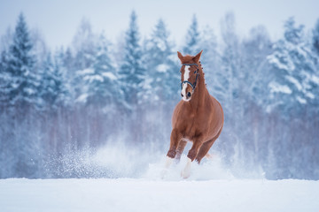 Wall Mural - Beautiful red horse running  in winter