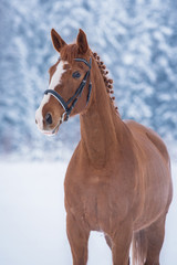 Wall Mural - Beautiful red horse in winter