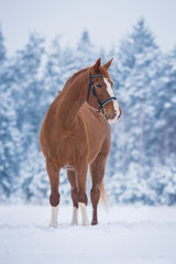 Fototapete - Beautiful trakehner horse in winter