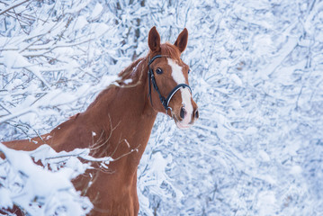 Wall Mural - Portrait of beautiful red trakehner horse in winter