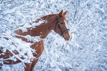 Wall Mural - Beautiful red horse in the winter forest