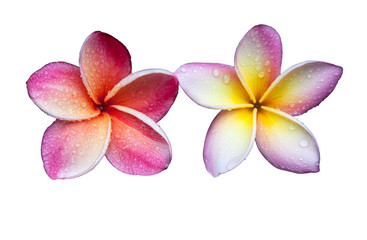 Plumeria flower on a white background.