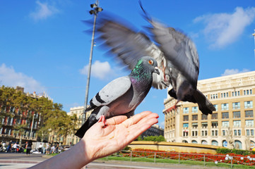 Fighting pigeons. The doves sits on a woman's hand. Pigeons in the square of Catlonia in Barcelona. The blue dove.