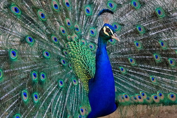 Close up of male peacock (peafowl), showing its beautiful feathers
