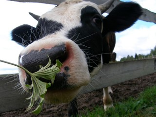 Funny cow on the pasture