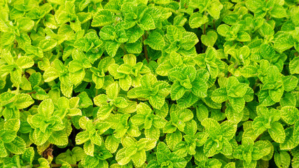 Close Up of green peppermint leaves in the vegetable garden.