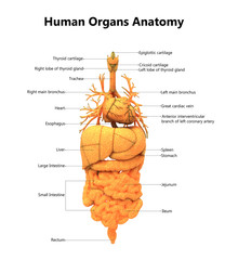 Human Body Organs Anatomy with Detailed Labels